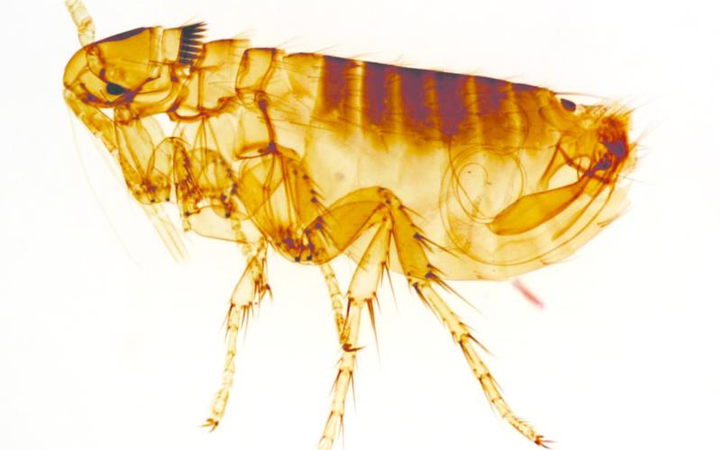 Dermatitis alérgica a la picadura de pulga